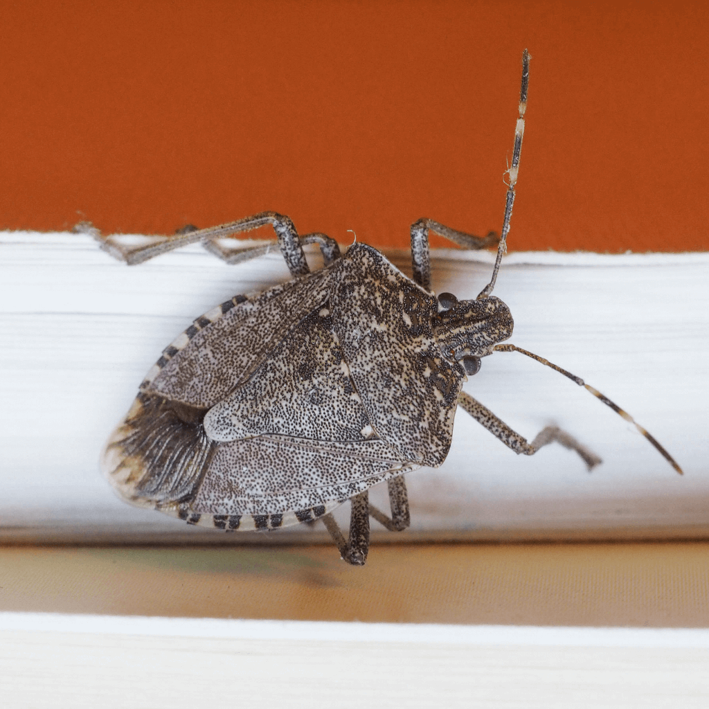 Stink bug crawling on the inside wall of a home in Rochester NY.